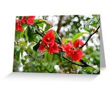 Flowering quince drenched with rainwater Greeting Card