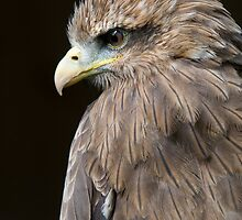 Yellow-Billed Kite - (Milvus aegyptius) by Robert Taylor