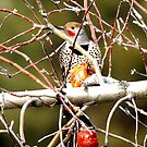 Northern Flicker finding a winter snack by amontanaview