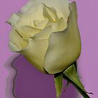 MY NOVEMBER WHITE ROSE by RoseMarie747