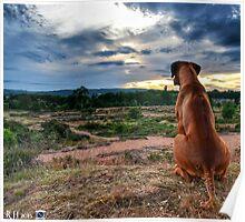 Rhodesian ridgeback dog Poster