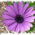 *Purple Daisy* by EdsMum