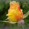 Rosebud in Tears/Avatar/Feature Page - Enchanted Flowers