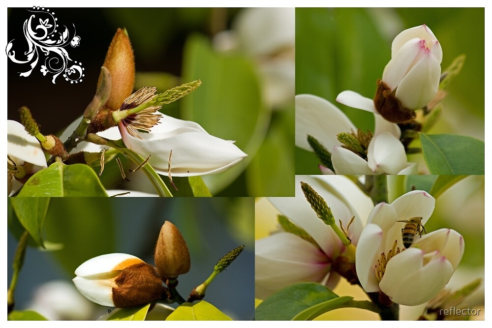 Magic Magnolia by reflector