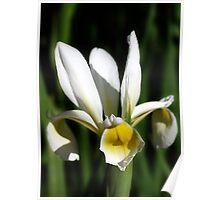 White Iris... Poster