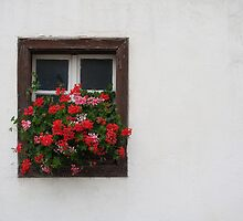 Red And Pink Pelargonium  by Mythos57