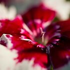 Red and White Dianthus by onyonet photo studios