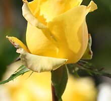 Sun Shiny Yellow Rose  by Terry Aldhizer
