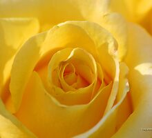 Yellow Rose Close Up by Terry Aldhizer