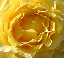 Yellow Rose Close Up II by Terry Aldhizer