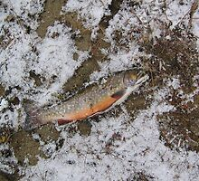 Trout on Ice by eoconnor