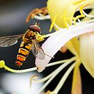 Hover Fly by Graham Taylor