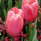 Blushing tulips by Gayle Shaw