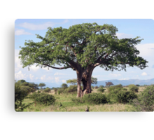 Hole in the Baobab Tree Canvas Print