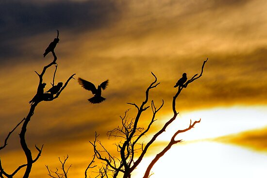 Goodnight Galahs by Penny Kittel
