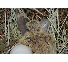 baby dove just hatched Photographic Print