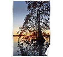Cypress swirl Poster