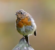 Juvenile Robin, County Kilkenny, Ireland by Andrew Jones
