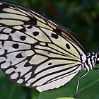 IDEA LEUCONOE (Paper Kite, Rice Paper, or Large Tree Nymph) by PAPILON