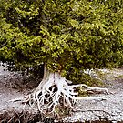 The Ancient Cedar Tree on Lake Superior by loralea