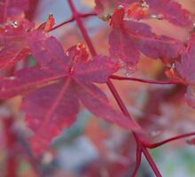 japanese maple tree by rue2
