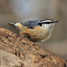 In Your Face - Red-breasted Nuthatch by High-D