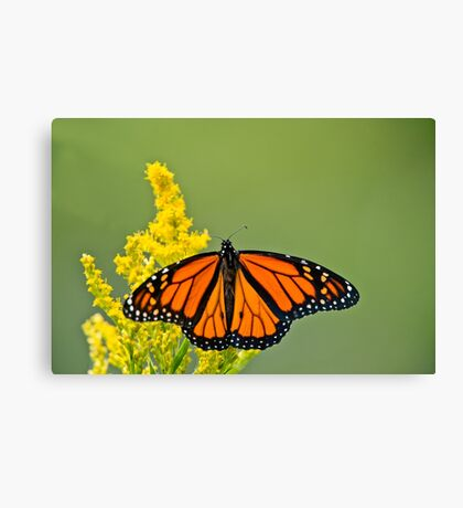 Monarch Butterfly - 43 Canvas Print
