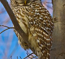 Barred Owl by Gashphotography