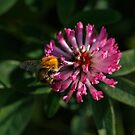 A Bumblebee on the Clover Flower by Irina777