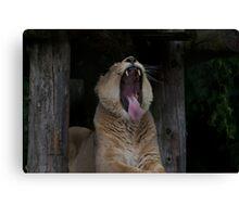 Lioness yawning Canvas Print