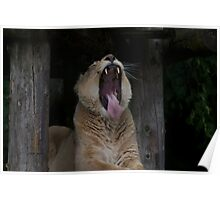 Lioness yawning Poster