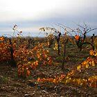 November Vineyards by WildWheat