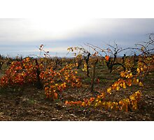 November Vineyards Photographic Print