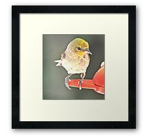 YELLOW HEADED WARBLER ON PERCH Framed Print