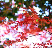 Fall Colors of Japenese Maple by Terry Aldhizer