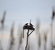 Pandion Haliaetus - Osprey | Hampton Bays, New York  by © Sophie W. Smith