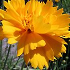 Golden Coreopsis by DreamBigInk1