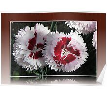 Two Cottage Pinks in a Reflection Frame Poster