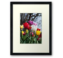 Coloured Tulips Framed Print
