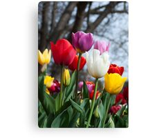 Coloured Tulips Canvas Print