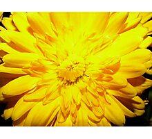 Bright Yellow Mum Photographic Print