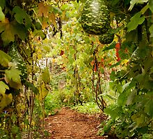 Gourd arbor in full fruit by Diane Nemea Laessig