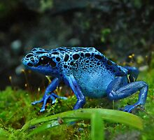 Dendrobates Tinctorius by Scott Mitchell
