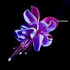 Fuchsia -- Heidi Ann III by Tom Newman