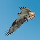 Osprey with Dinner by toby snelgrove  IPA