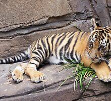 Baby Tiger by Megan Herne