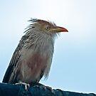 Guira Cuckoo by Robert Abraham