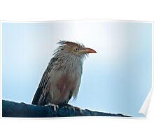 Guira Cuckoo Poster