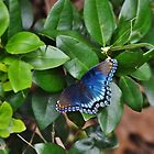 Red Spotted Purple - Greeting Card by Scott Mitchell