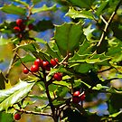 Holly Berries by Jessica Manelis
